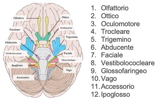 ricordare i nervi cranici